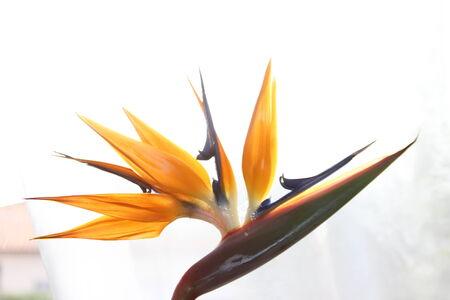Flor del ave del paraiso