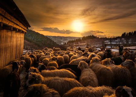 Foto de Sheep herd at sunset in Romania - Imagen libre de derechos