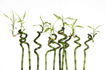 Lucky bamboo plant (Dracaena sanderiana) against white background