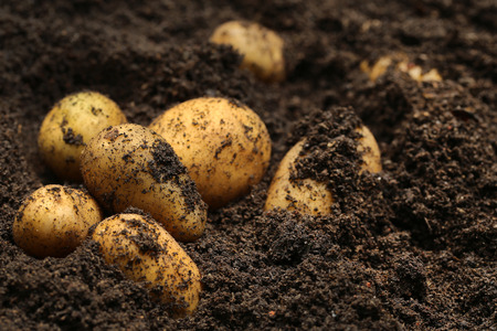Newly harvested potatoes in soil
