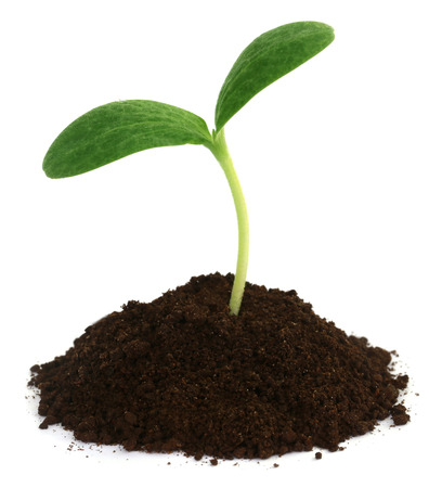 Pumpkin seedling on soil over white background