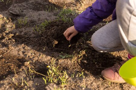 Photo for The process of planting germinated corn kernels. Little cute girl is planting corn - Royalty Free Image