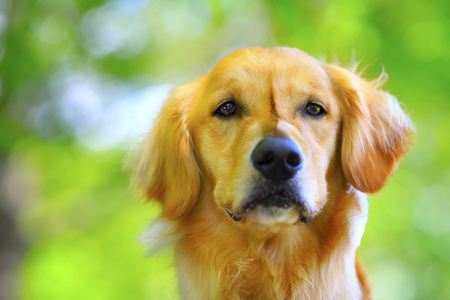 Foto de Golden retriever and green background - Imagen libre de derechos