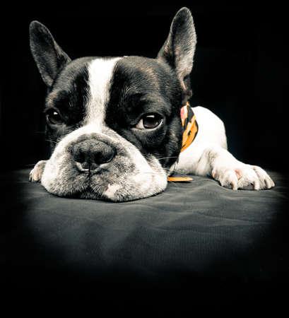 French bulldog resting over black floor