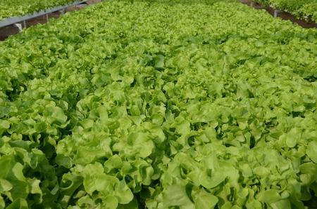organic  Green lettuce vegetables