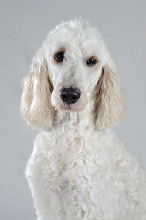 A white Golden Doodle is posed isolated on a grey background. She is white except for her ears. She looks similar to a standard poodle.