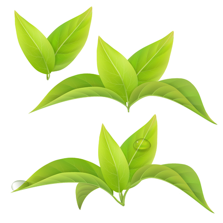Illustration for Set of green tea leaves isolated on a white background with drops of dew. floral elements. - Royalty Free Image