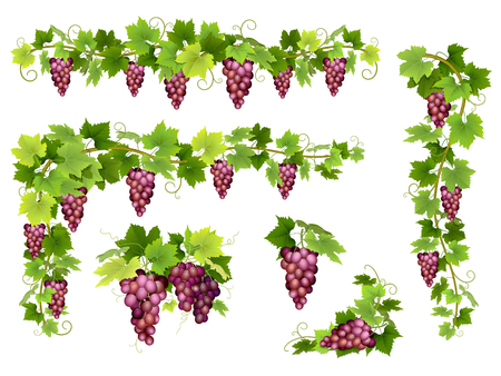 Illustration pour Set of bunches of red grapes. Cluster of berries, branches and leaves. illustration about harvest and wine making. - image libre de droit