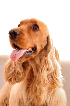 Young brown cocker spaniel on white background