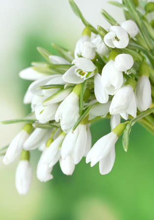 beautiful snowdrops on green background