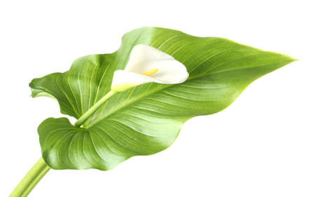 White calla with leaf isolated on white