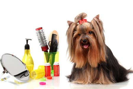 Beautiful yorkshire terrier with grooming items isolated on white