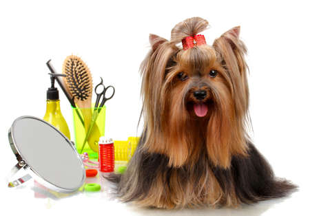 Beautiful yorkshire terrier with grooming items isolated on whiteの写真素材