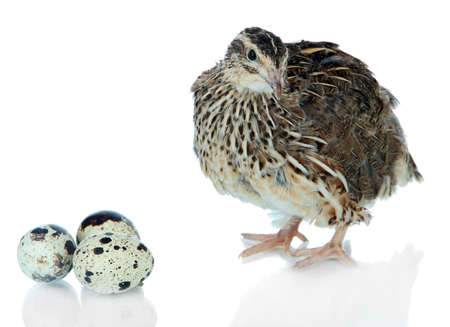 Young quail with eggs isolated on white