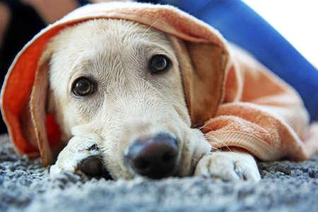 Wet Labrador dog in towel lying on gray carpet, closeup