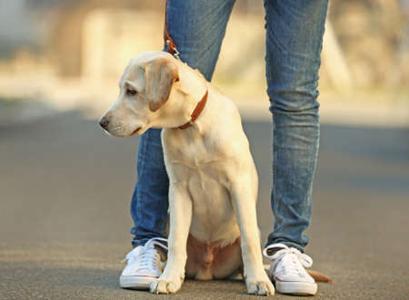 Owner and sitting Labrador dog in city on unfocused background