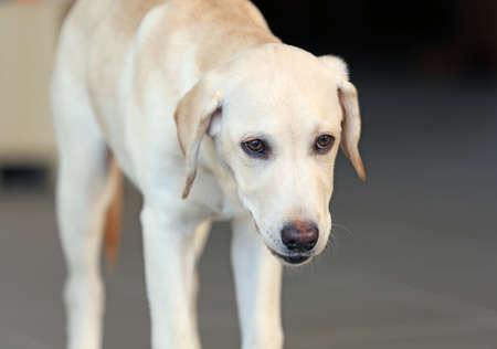 Cute Labrador dog on unfocused background, closeup