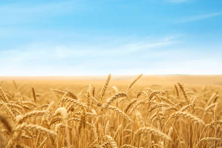 Photo for Wheat grain field on sunny day. Cereal farming - Royalty Free Image