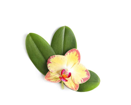 Beautiful orchid flower with leaves on white background, top view. Tropical plant
