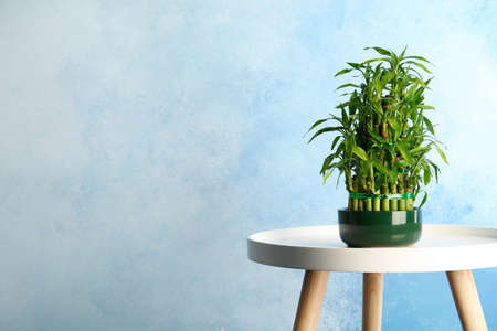 Table with potted bamboo plant near color wall. Space for text