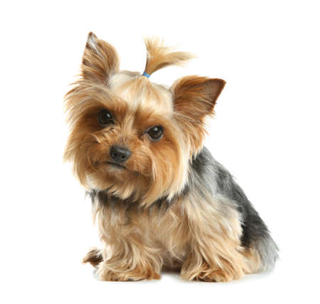 Photo pour Yorkshire terrier isolated on white. Happy dog - image libre de droit