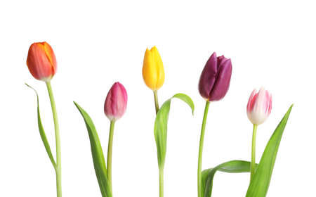 Foto de Beautiful bright tulips on white background. Spring flowers - Imagen libre de derechos
