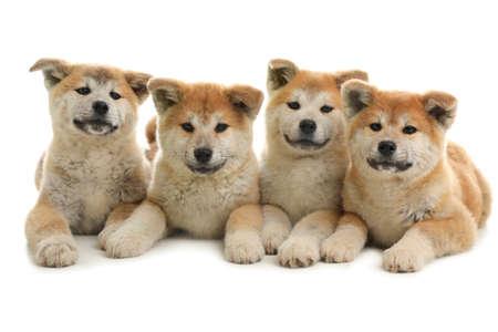 Foto de Cute akita inu puppies isolated on white - Imagen libre de derechos