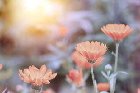 Photo pour Beautiful blooming flowers in meadow, color tone - image libre de droit