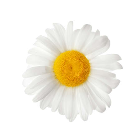 Photo for Beautiful blooming chamomile flower isolated on white - Royalty Free Image