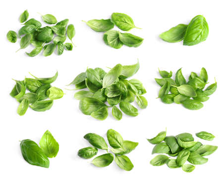 Photo for Set of fresh green basil leaves on white background - Royalty Free Image