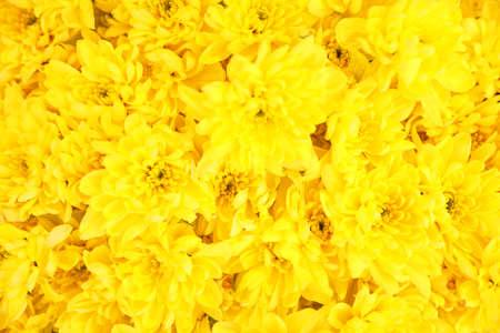 Photo pour Beautiful fresh chrysanthemum flowers as background, closeup. Floral decor - image libre de droit