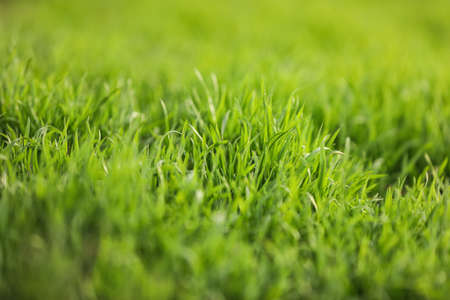 Photo pour Beautiful green grass outdoors on spring day, closeup view - image libre de droit