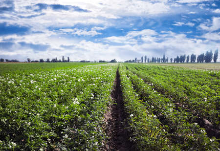 Photo pour Picturesque view of blooming potato field against blue sky with clouds on sunny day. Organic farming - image libre de droit