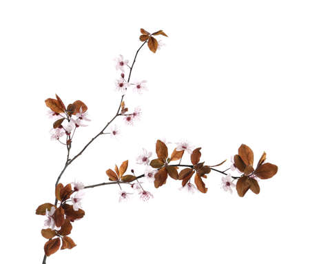 Photo for Branch of plum tree with beautiful blossom isolated on white. Spring season - Royalty Free Image