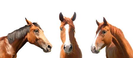 Beautiful pet horses on white background, closeup view