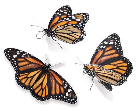 Photo pour Set of beautiful monarch butterflies on white background - image libre de droit