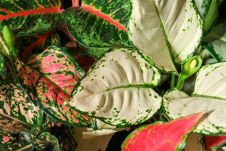 Photo pour Aglaonemas with beautiful leaves as background, closeup. Tropical plants - image libre de droit