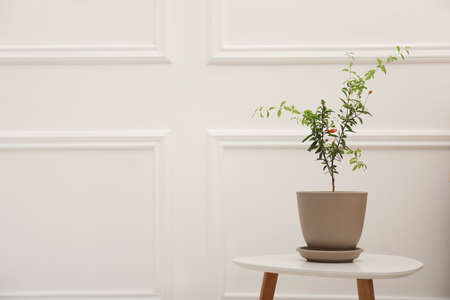 Photo for Young potted pomegranate tree on table near white wall indoors, space for text - Royalty Free Image