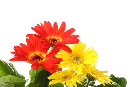 Photo for Beautiful colorful gerbera flowers on white background - Royalty Free Image