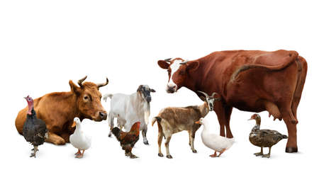 Photo for Group of different farm animals on white background - Royalty Free Image