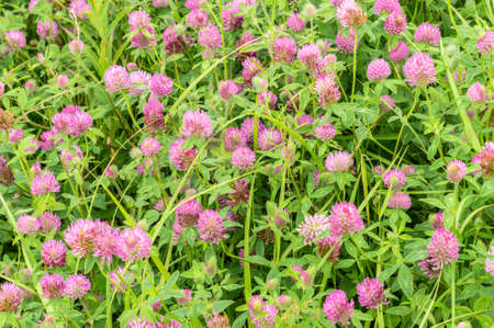 a fragment of a blossoming glade Red clover (Trifolium pratense)