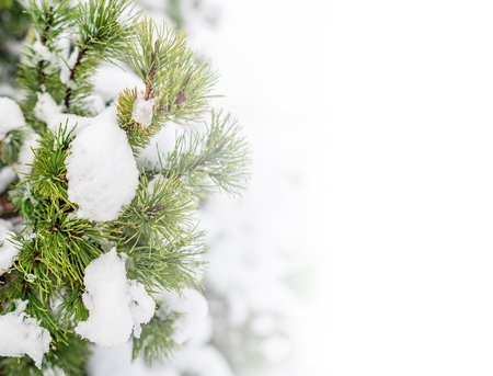 Photo pour Fir tree branch with cones covered with snow. - image libre de droit