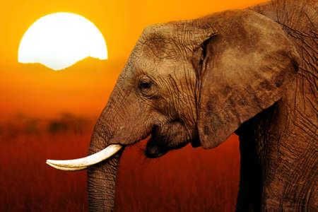 Foto de Elephant at African Sunset Background - Imagen libre de derechos