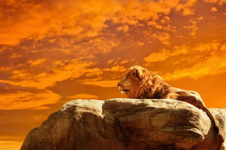 Photo for Lion at sunset african background - Royalty Free Image