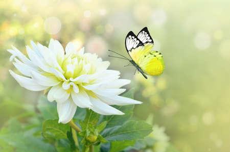 Photo pour Butterfly on the white flower. Summer garden. - image libre de droit