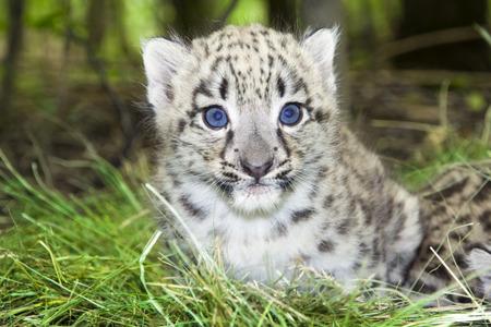 Snow leopard  Uncia uncia or Panthera uncia  baby