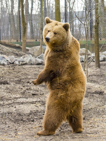 Photo for European brown bear (Ursus arctos arctos) is standing up - Royalty Free Image