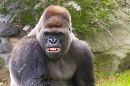 Western Gorilla (Gorilla gorilla) adult male portrait