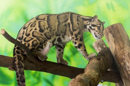 Photo pour Clouded leopard on a tree - image libre de droit