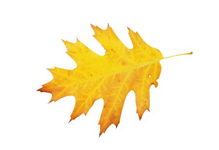 Yellow oak leaf isolated on white